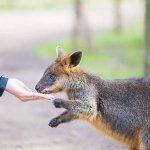 Hand feeding a swamp wallaby at Moonlit Sanctuary Wildlife Park