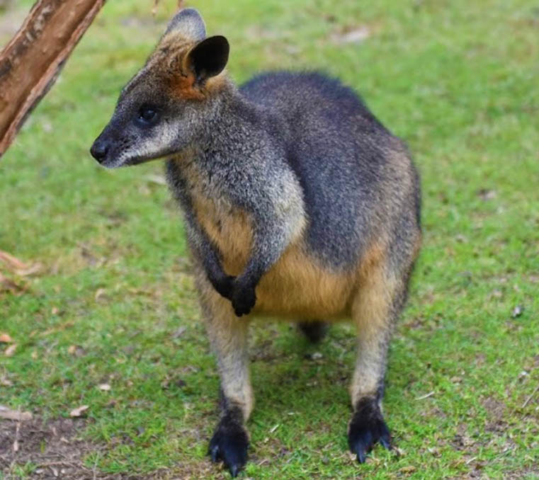 Swamp wallaby at Moonlit Sanctuary Wildlife Park