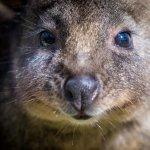 Tammar wallaby close up at Moonlit Sanctuary Wildlife Park