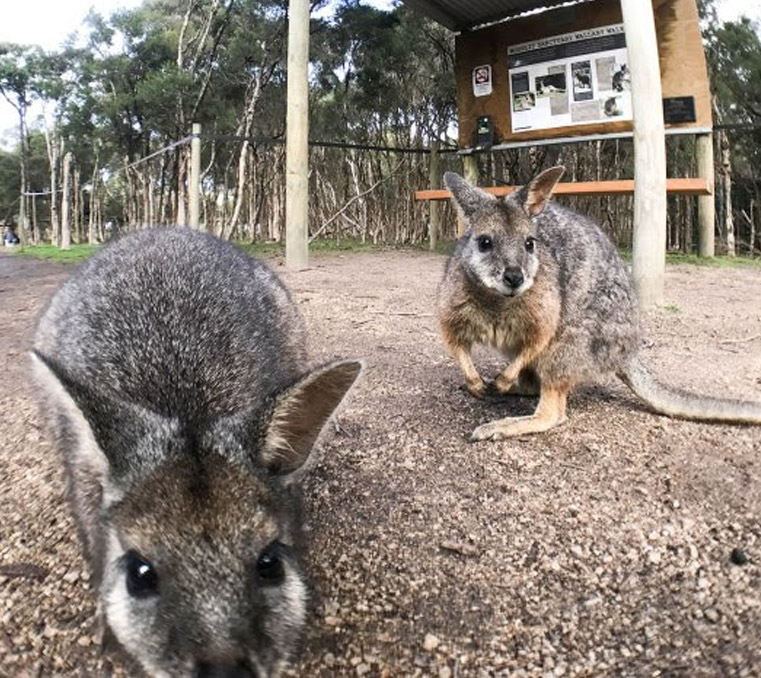 two tammar wallabies at Moonlit Sanctuary Wildlife Park
