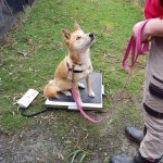 Alpine dingo being weighed at Moonlit Sanctuary Wildlife Park