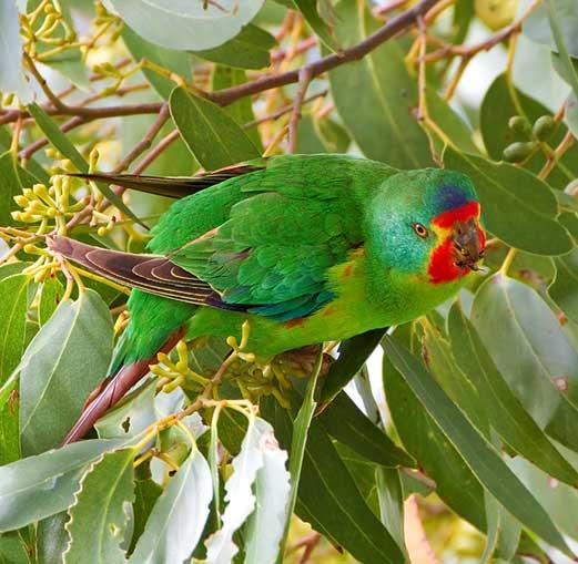 An endangered swift parrot at Moonlit Sanctuary Wildlife Park