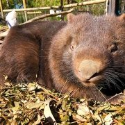 Mary the Common Wombat at Moonlit Sanctuary