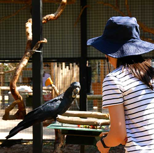 Black cockatoo being fed by Keeper Club at Moonlit Sanctuary Wildlife Park