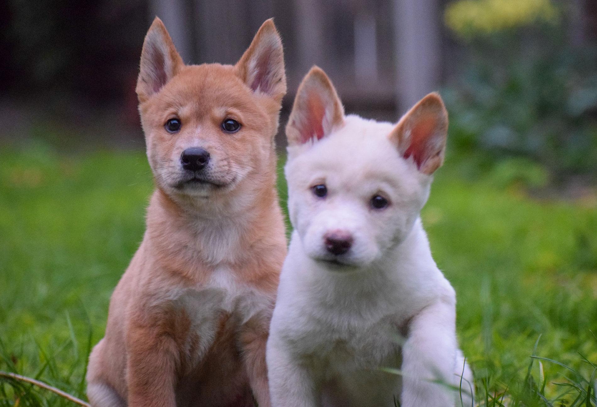 Dingo puppies at Moonlit Sanctuary Wildlife Park