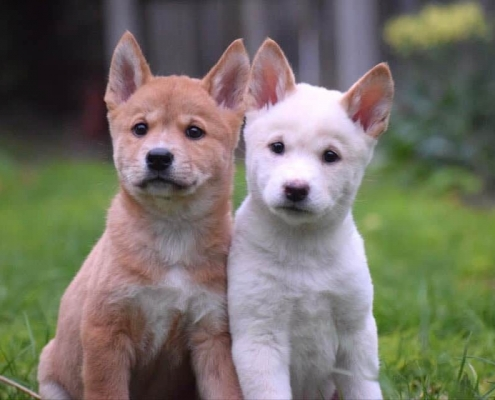 Dingo puppies at Moonlit Sanctuary