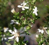 Olearia ramulosa - Twiggy Daisy-bush